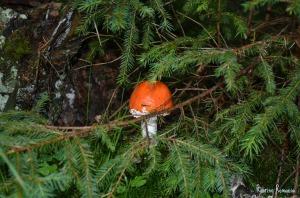 deadly mushroom